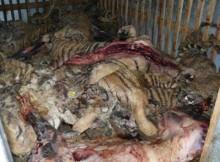 dunia-internasional-mengapresiasi-mui-harimau-perdagangan