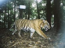 Harimau Sumatra Panthera tigris sumatrae. Foto: (c)  Fauna and Flora International